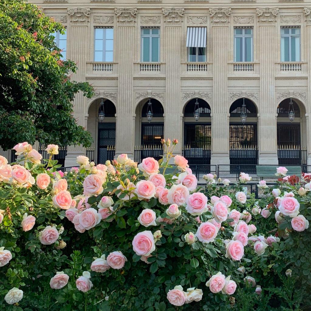Palais Royal roses